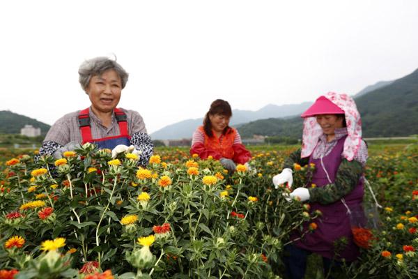 약초 고장 산청 홍화꽃 수확 한창.jpg