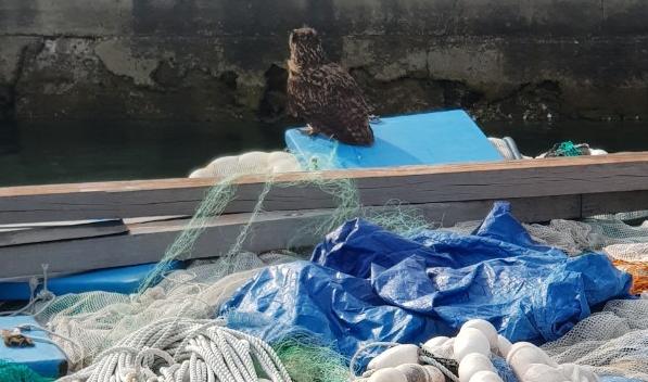 통영해양경찰서는 17일 오전 8시께 통영시 미수동 근해 통발 수협 앞 해상 뗏목에서 고기잡이 어선 그물에 걸려 움직이지 못하는 천연기념물인 수리부엉이를 안전하게 구조했다./통영해경/