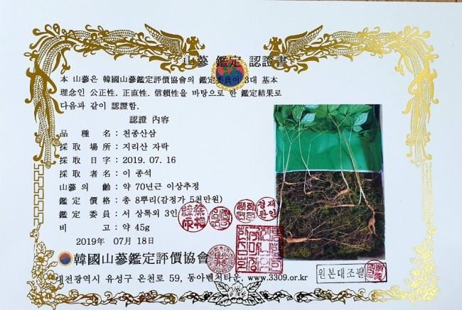 지리산기슭에서 발견한 천종산삼/박순도 함양산산축제위원회 산삼유통가공국장 제공/
