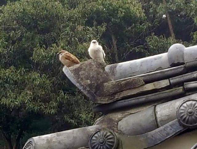 지난달 24일 진주시 금산면에서 발견된 흰 참새. /독자 최재태씨/
