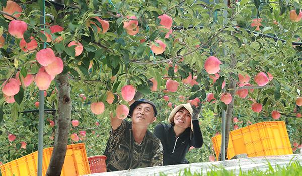 즐거운 추석용 홍로 사과수확.jpg