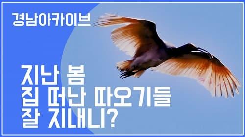 작년 봄 자연으로 날아간 그 따오기들 어떻게 지내고 있을까?