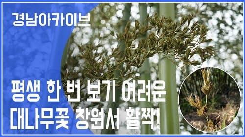 대나무 꽃 보기 어려운 이유는?ㅣ창원 1000여 그루 대나무에 꽃 활짝ㅣ
