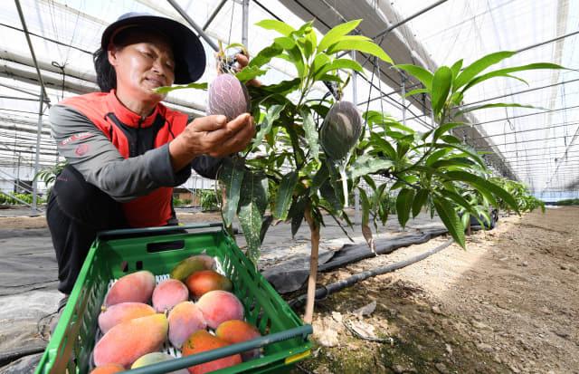 폭염경보가 발령된 8일 김해시 진영읍의 애플망고 비닐하우스에서 김광하씨가 애플망고를 수확하고 있다./김승권 기자/