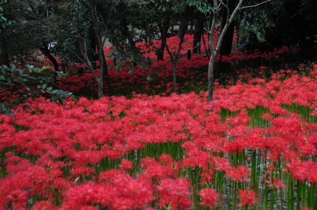 산호공원 꽃무릇축제.