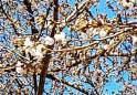 하동 쌍계사 벚꽃 개화, 작년보다 5일 빨라