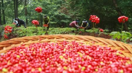 [포토뉴스] 빨갛게 영근 산양삼 열매