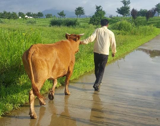 합천 율곡서 키우던 소, 밀양서 발견