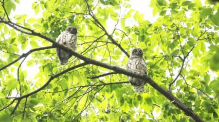 [포토뉴스] 함양군청 느티나무에 나타난 솔부엉이